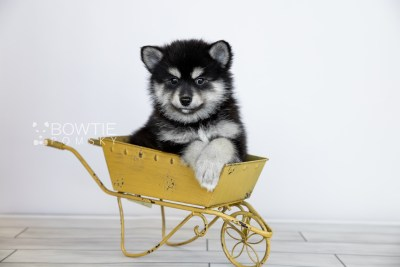 puppy105 week7 BowTiePomsky.com Bowtie Pomsky Puppy For Sale Husky Pomeranian Mini Dog Spokane WA Breeder Blue Eyes Pomskies Celebrity Puppy web5