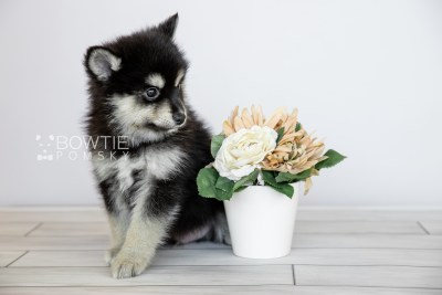 puppy105 week7 BowTiePomsky.com Bowtie Pomsky Puppy For Sale Husky Pomeranian Mini Dog Spokane WA Breeder Blue Eyes Pomskies Celebrity Puppy web6