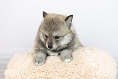 puppy106 week5 BowTiePomsky.com Bowtie Pomsky Puppy For Sale Husky Pomeranian Mini Dog Spokane WA Breeder Blue Eyes Pomskies Celebrity Puppy web1