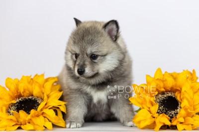 puppy106 week5 BowTiePomsky.com Bowtie Pomsky Puppy For Sale Husky Pomeranian Mini Dog Spokane WA Breeder Blue Eyes Pomskies Celebrity Puppy web2