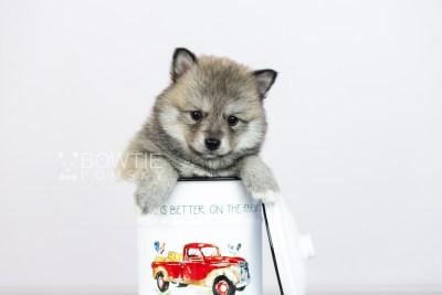 puppy106 week5 BowTiePomsky.com Bowtie Pomsky Puppy For Sale Husky Pomeranian Mini Dog Spokane WA Breeder Blue Eyes Pomskies Celebrity Puppy web3