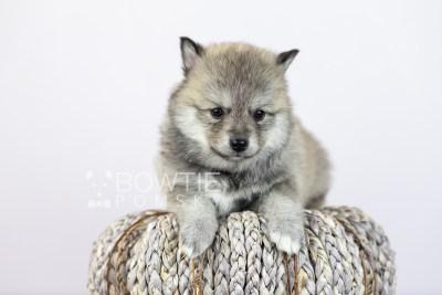 puppy106 week5 BowTiePomsky.com Bowtie Pomsky Puppy For Sale Husky Pomeranian Mini Dog Spokane WA Breeder Blue Eyes Pomskies Celebrity Puppy web4