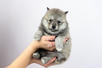 puppy106 week5 BowTiePomsky.com Bowtie Pomsky Puppy For Sale Husky Pomeranian Mini Dog Spokane WA Breeder Blue Eyes Pomskies Celebrity Puppy web6