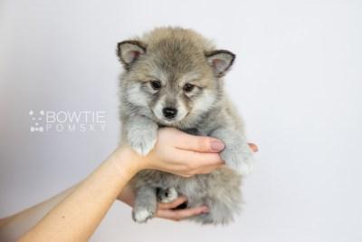 puppy106 week7 BowTiePomsky.com Bowtie Pomsky Puppy For Sale Husky Pomeranian Mini Dog Spokane WA Breeder Blue Eyes Pomskies Celebrity Puppy web1