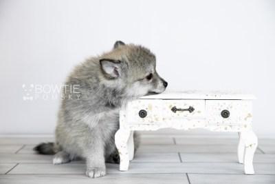 puppy106 week7 BowTiePomsky.com Bowtie Pomsky Puppy For Sale Husky Pomeranian Mini Dog Spokane WA Breeder Blue Eyes Pomskies Celebrity Puppy web4