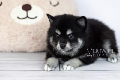 puppy107 week5 BowTiePomsky.com Bowtie Pomsky Puppy For Sale Husky Pomeranian Mini Dog Spokane WA Breeder Blue Eyes Pomskies Celebrity Puppy web1