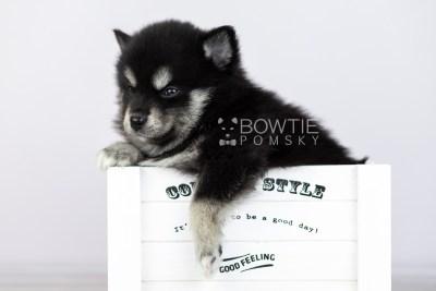 puppy107 week5 BowTiePomsky.com Bowtie Pomsky Puppy For Sale Husky Pomeranian Mini Dog Spokane WA Breeder Blue Eyes Pomskies Celebrity Puppy web5