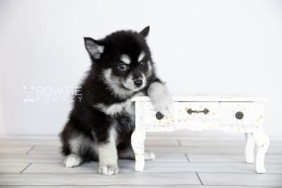 puppy107 week7 BowTiePomsky.com Bowtie Pomsky Puppy For Sale Husky Pomeranian Mini Dog Spokane WA Breeder Blue Eyes Pomskies Celebrity Puppy web4