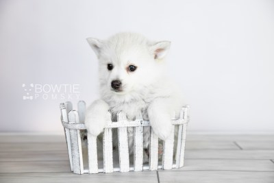 puppy108 week7 BowTiePomsky.com Bowtie Pomsky Puppy For Sale Husky Pomeranian Mini Dog Spokane WA Breeder Blue Eyes Pomskies Celebrity Puppy web2