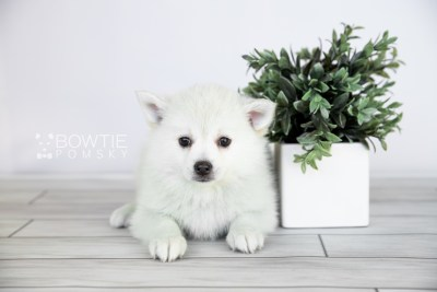 puppy108 week7 BowTiePomsky.com Bowtie Pomsky Puppy For Sale Husky Pomeranian Mini Dog Spokane WA Breeder Blue Eyes Pomskies Celebrity Puppy web3