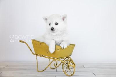 puppy108 week7 BowTiePomsky.com Bowtie Pomsky Puppy For Sale Husky Pomeranian Mini Dog Spokane WA Breeder Blue Eyes Pomskies Celebrity Puppy web5