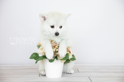 puppy108 week7 BowTiePomsky.com Bowtie Pomsky Puppy For Sale Husky Pomeranian Mini Dog Spokane WA Breeder Blue Eyes Pomskies Celebrity Puppy web6