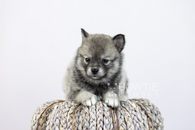 puppy109 week5 BowTiePomsky.com Bowtie Pomsky Puppy For Sale Husky Pomeranian Mini Dog Spokane WA Breeder Blue Eyes Pomskies Celebrity Puppy web4