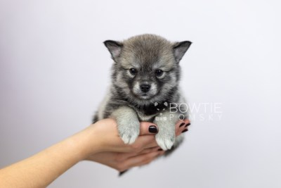 puppy109 week5 BowTiePomsky.com Bowtie Pomsky Puppy For Sale Husky Pomeranian Mini Dog Spokane WA Breeder Blue Eyes Pomskies Celebrity Puppy web6
