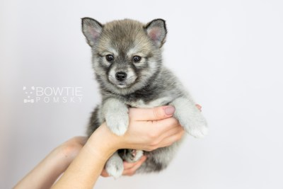 puppy109 week7 BowTiePomsky.com Bowtie Pomsky Puppy For Sale Husky Pomeranian Mini Dog Spokane WA Breeder Blue Eyes Pomskies Celebrity Puppy web1