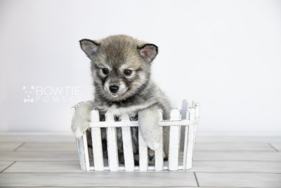 puppy109 week7 BowTiePomsky.com Bowtie Pomsky Puppy For Sale Husky Pomeranian Mini Dog Spokane WA Breeder Blue Eyes Pomskies Celebrity Puppy web2