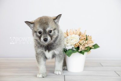 puppy109 week7 BowTiePomsky.com Bowtie Pomsky Puppy For Sale Husky Pomeranian Mini Dog Spokane WA Breeder Blue Eyes Pomskies Celebrity Puppy web6