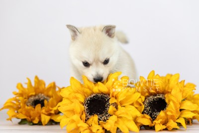 puppy110 week5 BowTiePomsky.com Bowtie Pomsky Puppy For Sale Husky Pomeranian Mini Dog Spokane WA Breeder Blue Eyes Pomskies Celebrity Puppy web2