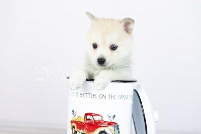 puppy110 week5 BowTiePomsky.com Bowtie Pomsky Puppy For Sale Husky Pomeranian Mini Dog Spokane WA Breeder Blue Eyes Pomskies Celebrity Puppy web3