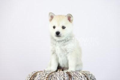 puppy110 week5 BowTiePomsky.com Bowtie Pomsky Puppy For Sale Husky Pomeranian Mini Dog Spokane WA Breeder Blue Eyes Pomskies Celebrity Puppy web4
