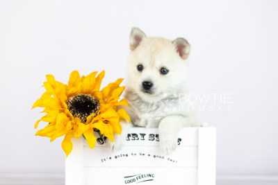 puppy110 week5 BowTiePomsky.com Bowtie Pomsky Puppy For Sale Husky Pomeranian Mini Dog Spokane WA Breeder Blue Eyes Pomskies Celebrity Puppy web5