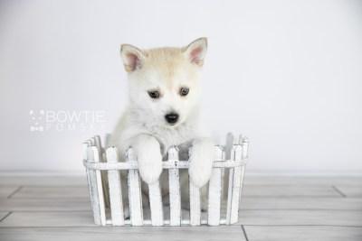 puppy110 week7 BowTiePomsky.com Bowtie Pomsky Puppy For Sale Husky Pomeranian Mini Dog Spokane WA Breeder Blue Eyes Pomskies Celebrity Puppy web2