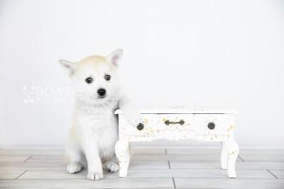 puppy110 week7 BowTiePomsky.com Bowtie Pomsky Puppy For Sale Husky Pomeranian Mini Dog Spokane WA Breeder Blue Eyes Pomskies Celebrity Puppy web4