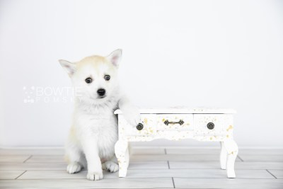 puppy110 week7 BowTiePomsky.com Bowtie Pomsky Puppy For Sale Husky Pomeranian Mini Dog Spokane WA Breeder Blue Eyes Pomskies Celebrity Puppy web4