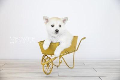 puppy110 week7 BowTiePomsky.com Bowtie Pomsky Puppy For Sale Husky Pomeranian Mini Dog Spokane WA Breeder Blue Eyes Pomskies Celebrity Puppy web5
