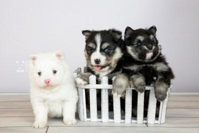puppy111-113 week3 BowTiePomsky.com Bowtie Pomsky Puppy For Sale Husky Pomeranian Mini Dog Spokane WA Breeder Blue Eyes Pomskies Celebrity Puppy web1