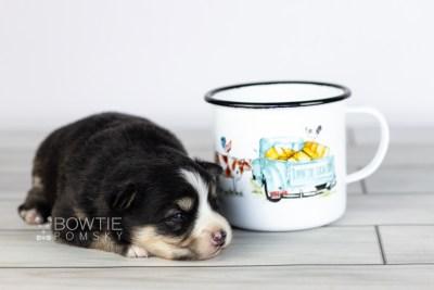 puppy111 week1 BowTiePomsky.com Bowtie Pomsky Puppy For Sale Husky Pomeranian Mini Dog Spokane WA Breeder Blue Eyes Pomskies Celebrity Puppy web1