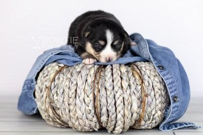 puppy111 week1 BowTiePomsky.com Bowtie Pomsky Puppy For Sale Husky Pomeranian Mini Dog Spokane WA Breeder Blue Eyes Pomskies Celebrity Puppy web5