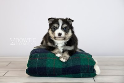 puppy111 week3 BowTiePomsky.com Bowtie Pomsky Puppy For Sale Husky Pomeranian Mini Dog Spokane WA Breeder Blue Eyes Pomskies Celebrity Puppy web3