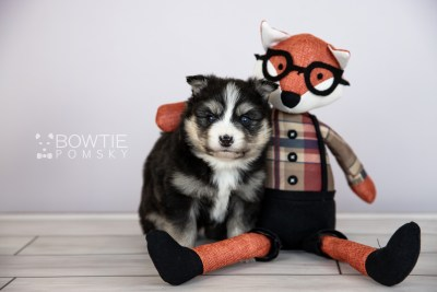puppy111 week3 BowTiePomsky.com Bowtie Pomsky Puppy For Sale Husky Pomeranian Mini Dog Spokane WA Breeder Blue Eyes Pomskies Celebrity Puppy web4