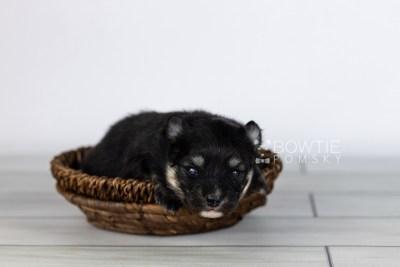 puppy112 week1 BowTiePomsky.com Bowtie Pomsky Puppy For Sale Husky Pomeranian Mini Dog Spokane WA Breeder Blue Eyes Pomskies Celebrity Puppy web2