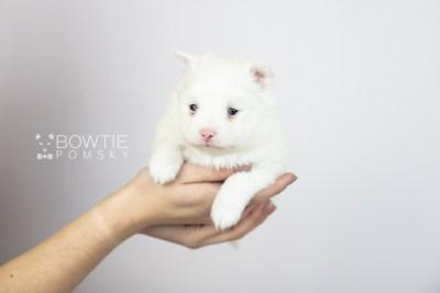 puppy113 week3 BowTiePomsky.com Bowtie Pomsky Puppy For Sale Husky Pomeranian Mini Dog Spokane WA Breeder Blue Eyes Pomskies Celebrity Puppy web2