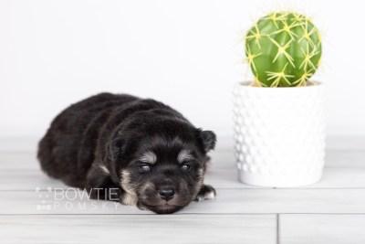 puppy114 week1 BowTiePomsky.com Bowtie Pomsky Puppy For Sale Husky Pomeranian Mini Dog Spokane WA Breeder Blue Eyes Pomskies Celebrity Puppy web1
