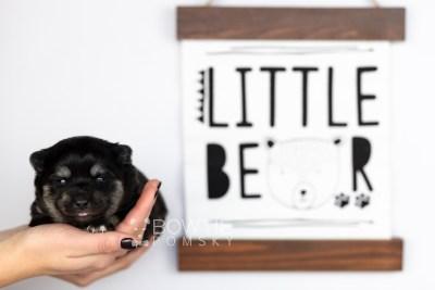 puppy114 week1 BowTiePomsky.com Bowtie Pomsky Puppy For Sale Husky Pomeranian Mini Dog Spokane WA Breeder Blue Eyes Pomskies Celebrity Puppy web5