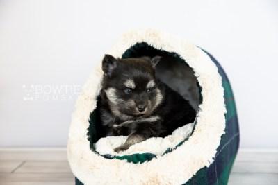 puppy114 week3 BowTiePomsky.com Bowtie Pomsky Puppy For Sale Husky Pomeranian Mini Dog Spokane WA Breeder Blue Eyes Pomskies Celebrity Puppy web5