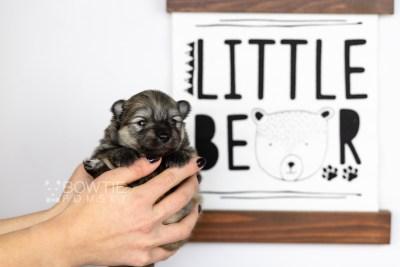 puppy115 week1 BowTiePomsky.com Bowtie Pomsky Puppy For Sale Husky Pomeranian Mini Dog Spokane WA Breeder Blue Eyes Pomskies Celebrity Puppy web5