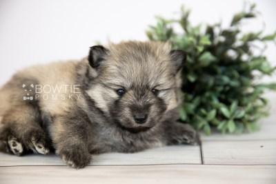 puppy115 week3 BowTiePomsky.com Bowtie Pomsky Puppy For Sale Husky Pomeranian Mini Dog Spokane WA Breeder Blue Eyes Pomskies Celebrity Puppy web2