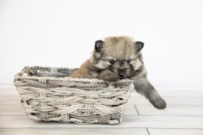 puppy115 week3 BowTiePomsky.com Bowtie Pomsky Puppy For Sale Husky Pomeranian Mini Dog Spokane WA Breeder Blue Eyes Pomskies Celebrity Puppy web4