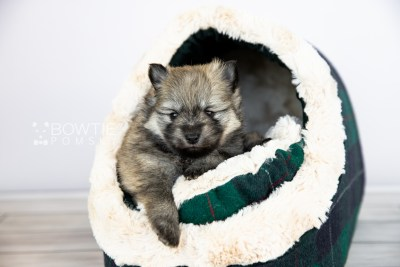 puppy115 week3 BowTiePomsky.com Bowtie Pomsky Puppy For Sale Husky Pomeranian Mini Dog Spokane WA Breeder Blue Eyes Pomskies Celebrity Puppy web5
