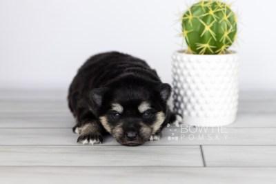 puppy116 week1 BowTiePomsky.com Bowtie Pomsky Puppy For Sale Husky Pomeranian Mini Dog Spokane WA Breeder Blue Eyes Pomskies Celebrity Puppy web1