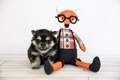 puppy116 week3 BowTiePomsky.com Bowtie Pomsky Puppy For Sale Husky Pomeranian Mini Dog Spokane WA Breeder Blue Eyes Pomskies Celebrity Puppy web3