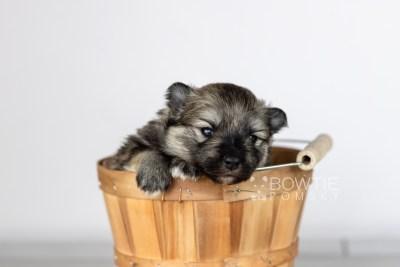 puppy117 week1 BowTiePomsky.com Bowtie Pomsky Puppy For Sale Husky Pomeranian Mini Dog Spokane WA Breeder Blue Eyes Pomskies Celebrity Puppy web3