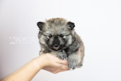 puppy117 week3 BowTiePomsky.com Bowtie Pomsky Puppy For Sale Husky Pomeranian Mini Dog Spokane WA Breeder Blue Eyes Pomskies Celebrity Puppy web1