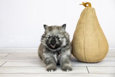 puppy117 week3 BowTiePomsky.com Bowtie Pomsky Puppy For Sale Husky Pomeranian Mini Dog Spokane WA Breeder Blue Eyes Pomskies Celebrity Puppy web6