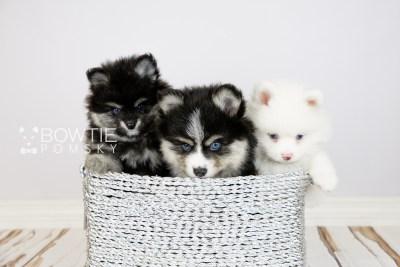 puppy111-113 week7 BowTiePomsky.com Bowtie Pomsky Puppy For Sale Husky Pomeranian Mini Dog Spokane WA Breeder Blue Eyes Pomskies Celebrity Puppy web
