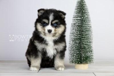 puppy111 week5 BowTiePomsky.com Bowtie Pomsky Puppy For Sale Husky Pomeranian Mini Dog Spokane WA Breeder Blue Eyes Pomskies Celebrity Puppy web2
